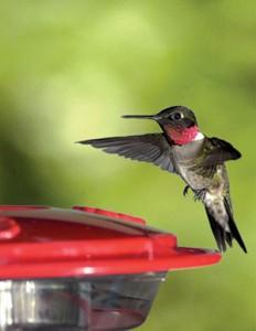 Ruby Red Hummingbird